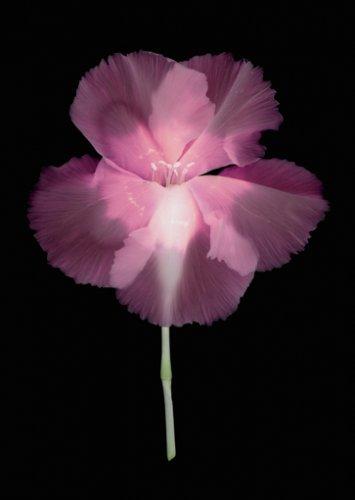 Dianthus #135 - Details