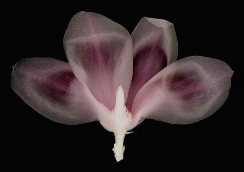 Magnolia - Details